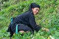 Ha Giang, La Chi, Picking, Vietnam