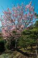 Yoshino Cherry Tree In Blossom
