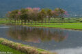 Flooded Field & Cherry Trees