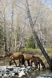 China,Wild Horse,Xinjiang