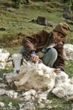 India,Shearing,Sheep,Uttarakhand