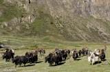 Dolpo,Nepal,Pack Animal,Yak