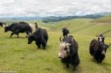 China,Herding,Sichuan,Yak