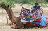 Kutchi Rabari Woman With Her Camel