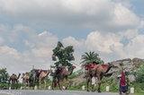 Camel,Gujarat,India,Pack Animal,Rabari