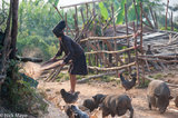 Chicken,Hani,Hat,Laos,Paddy,Phongsali,Pig,Winnowing