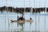 Collecting Drying Kelp