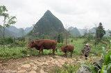 China,Corn,Cow,Guangxi,Zhuang