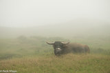 Buffalo In The Cloudy Pasture