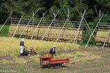 Harvesting The Rice