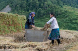 Head Scarf,Miao,Paddy,Threshing,Vietnam,Yen Bai
