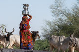 Cow, Fetching Water, Gujarat, Head Scarf, India