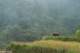 Ha Giang, Paddy, Vietnam, Water Buffalo