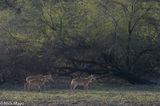 Deer, India, Rajasthan