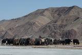 Bayan-Ölgii, Kazakh, Mongolia, Yak