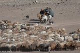 Bayan-Ölgii, Camel, Dog, Goat, Horse, Kazakh, Mongolia, Pack Animal, Sheep