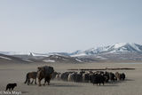 Bayan-Ölgii, Camel, Dog, Goat, Horse, Kazakh, Mongolia, Pack Animal, Sheep, Yak