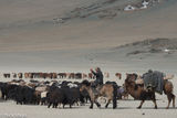 Bayan-Ölgii, Camel, Horse, Kazakh, Mongolia, Pack Animal, Yak