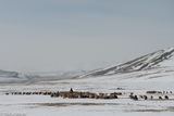 Bayan-Ölgii, Goat, Herding, Horse, Kazakh, Mongolia, Sheep
