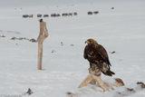 Bayan-Ölgii, Eagle, Mongolia