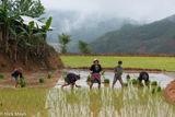 Dien Bien, Miao, Paddy, Transplanting, Vietnam