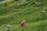 Ami, Daylily, East Coast, Harvesting, Taiwan
