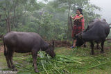 Ha Giang, Head Scarf, Miao, Vietnam, Water Buffalo