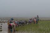 Burma, Paddy, Shan, Shan State, Transplanting
