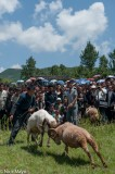 China,Ram Fight,Sheep,Sichuan,Yi