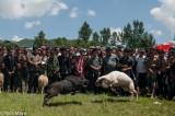 China,Ram Fight,Sheep,Sichuan,Yi
