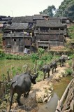 China,Guizhou,Village,Water Buffalo