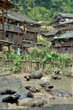 Buffalo In The Village Wallow