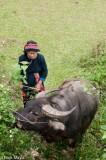 Water Buffalo Grazing