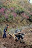 China,Ox,Plough,Ploughing,Yi,Yunnan