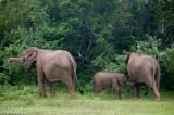 Elephant,Southern Province,Sri Lanka