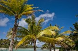 Coconut Palm,French Polynesia,Iles Sous Le Vent
