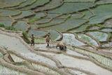 Hani, Lao Cai, Ploughing, Vietnam, Water Buffalo