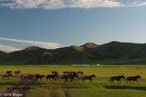 Horse, Mongolia, Selenge