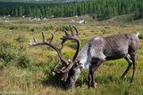 Khovsgol, Mongolia, Reindeer, Tent