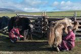 Darkhad, Khovsgol, Milking, Mongolia, Yak