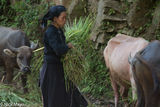 Fodder, Ha Giang, La Chi, Vietnam, Water Buffalo