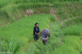 Ha Giang, La Chi, Paddy, Vietnam, Water Buffalo