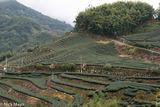 Yunlin County Tea Fields