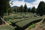 Tea Plantation Among Fir Trees