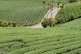 Road Through The Tea Fields