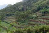 Terraces Of Tea & Betel