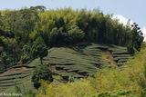 Tea Field Between Bamboo Groves