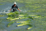 Harvested Water Lily Stems