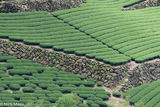 Tea Field On Stone Terraces