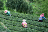Three Tea Pickers